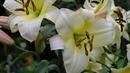 Размножение лилий из листочка. Пробуйте, получается!