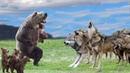 Gấu vs 20 sói - Chó sói phải khuất phục trước sức mạnh Lãnh chúa Cao nguyên người mẹ tuyệt vời