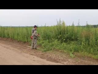 V_tyumenskoy_oblasti_politseyskie_unichtozhili_bolee_2000_kv_metrov_konopli