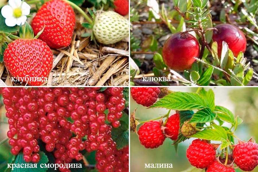 ягоды с целебными свойствами