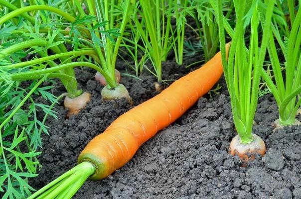 август. на грядках с корнеплодами. при плохом росте моркови, свеклы, корневой петрушки и корневого сельдерея проводят подкормки куриным пометом, разведенным водой в соотношении 1:15, коровяком