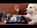 Cats and dogs playing chess (Кошки с собакой играют в шахматы. Часть 1)