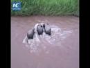 Семья слонов спасает малыша, которого унесла речная вода!