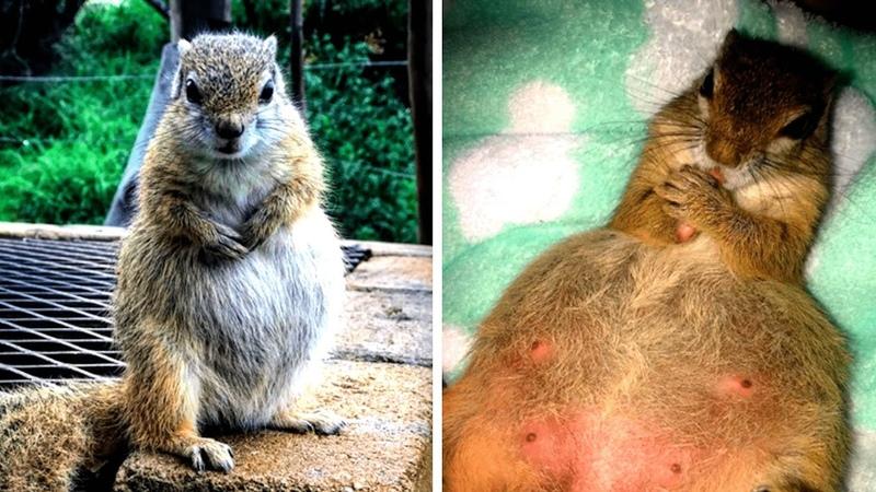 Schwangeres Eichhörnchen kehrt zur Familie zurück die es gerettet hatte