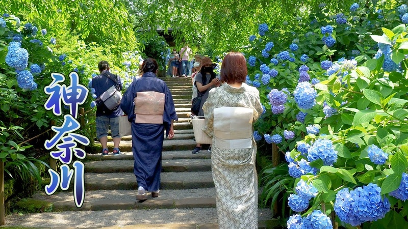They started the rainy season life surrounded by Hydrangea flowers in KANAGAWA 明月院 開成あじさいの里 4K