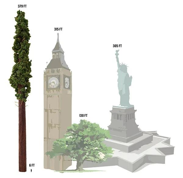 Самое высокое дерево в мире.