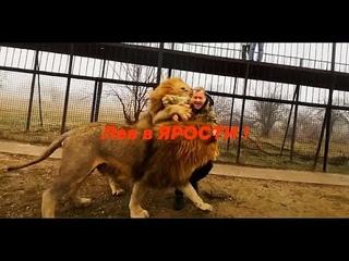 Лев  В ЯРОСТИ ! Гек нападает даже на  нас ! А вы говорите МИЛЫЕ КОТИКИ !