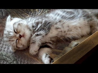 Очаровательный котенок сладко спит / Adorable kitten sleeping sweetly / Kitty Anfisa