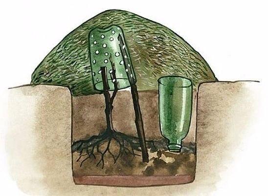 для тех, кто выращивает виноград. как укрыть виноград за зиму. один из советов практиков:осенью сажать виноград можно не раньше начала октября, когда жизненные процессы в растениях
