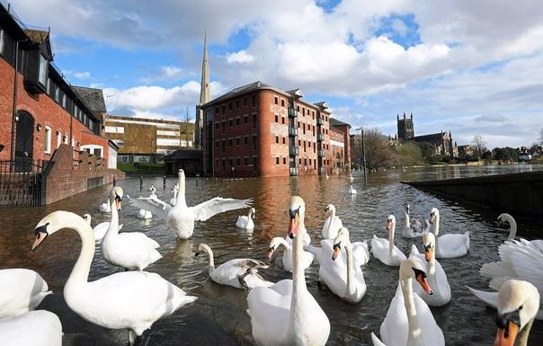 Лебеди на затопленных улицах города Вустер, Великобритания. Наши дни.