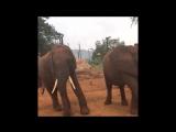 gentle giants elephants