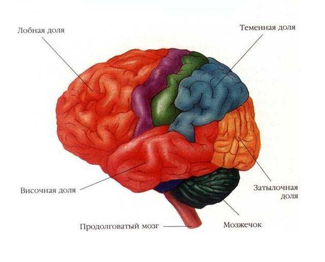 Головной мозг его строение и функции шпаргалка