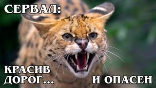 СЕРВАЛ: Самая дорогая дикая кошка может стать домашней | Интересные факты про диких кошек и животных