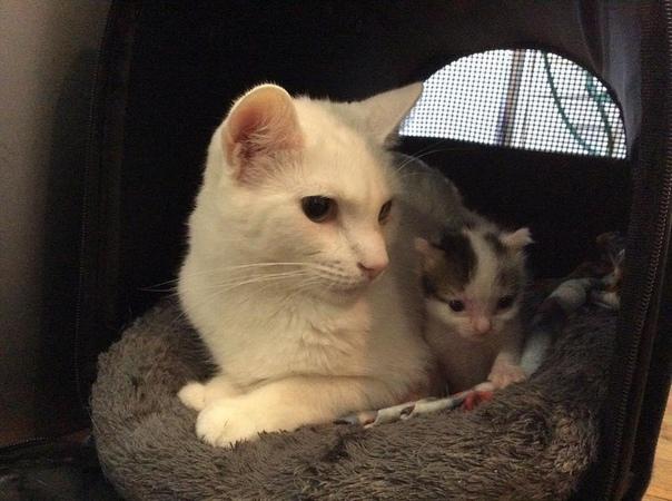 бенни суррогатный кот-папа бенни получает наибольшую радость, когда его человеческая мама приносит домой спасенных котят, поэтому он может помочь ухаживать за ними и показывать им ту же любовь,