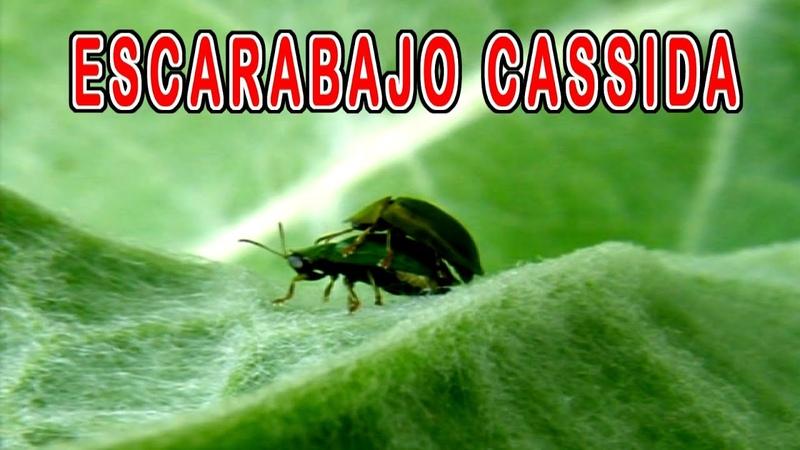 Escarabajo apareándose Escarabajo sobre Cardo Mariano Chrysomelidae Cassida cortejo amoroso