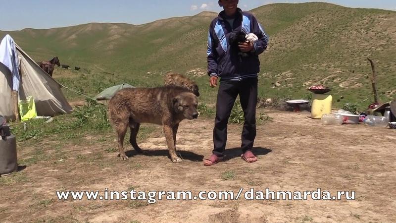 Аборигенные САО Таджикистана саги дахмарда из Дангары