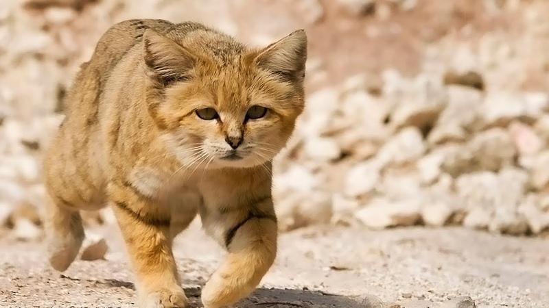 Барханная кошка спец по выживанию в экстремальных условиях пустыне Интересный факты о дикой кошке