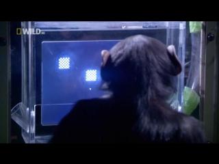 Умнее обезьяны...? | smarter than an ape...? // national geographic, 2008