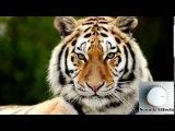 Звуки Льва , Звук Тигра ,Звук Лев Рычит Lion Sound Effect , Tiger Growl Sound