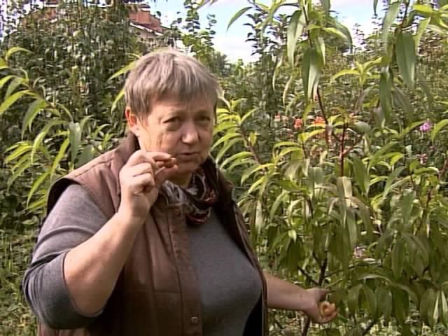 Как из косточки абрикоса вырастить новое дерево