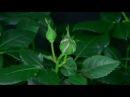 Красота и любовь Распускающиеся цветы 3 Футажи Скачать бесплатно