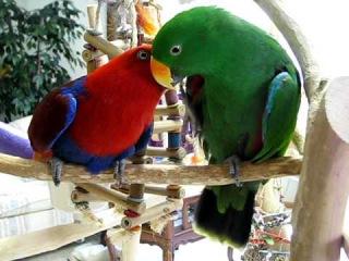Killian Flirting with Kaleena - Eclectus Parrots