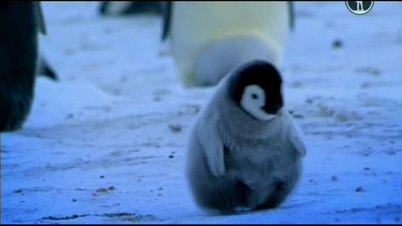 BBC Пингвины Шпион в стае 2 серия Первые шаги