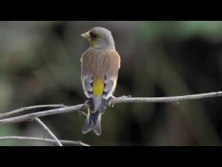 Grey-capped greenfinch / Китайская зеленушка / Carduelis sinica / Chloris sinica