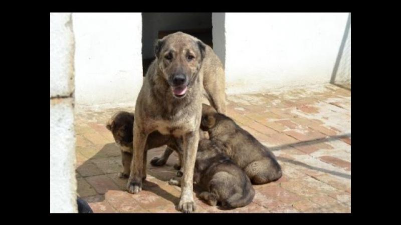 Питомник собак Сайед Республика Таджикистан