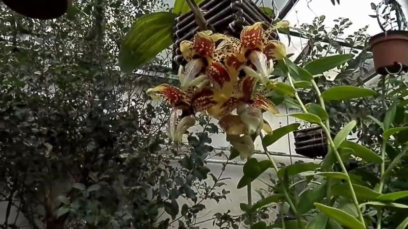 Stanhopea tigrina Masdevallia hybrid