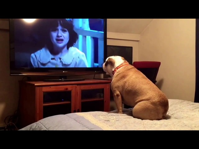 Bulldog watches a horror movie does something INCREDIBLE during scary scene