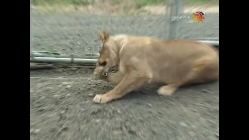 Animal Planet. Человек и львы (1-3 сезоны: 1-43 серии из 43) / The Lion Man / 2004-2008 /03
