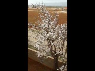 В Ливане зацвел миндаль