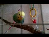 мои волнистые попугайчики,вольер попугаев