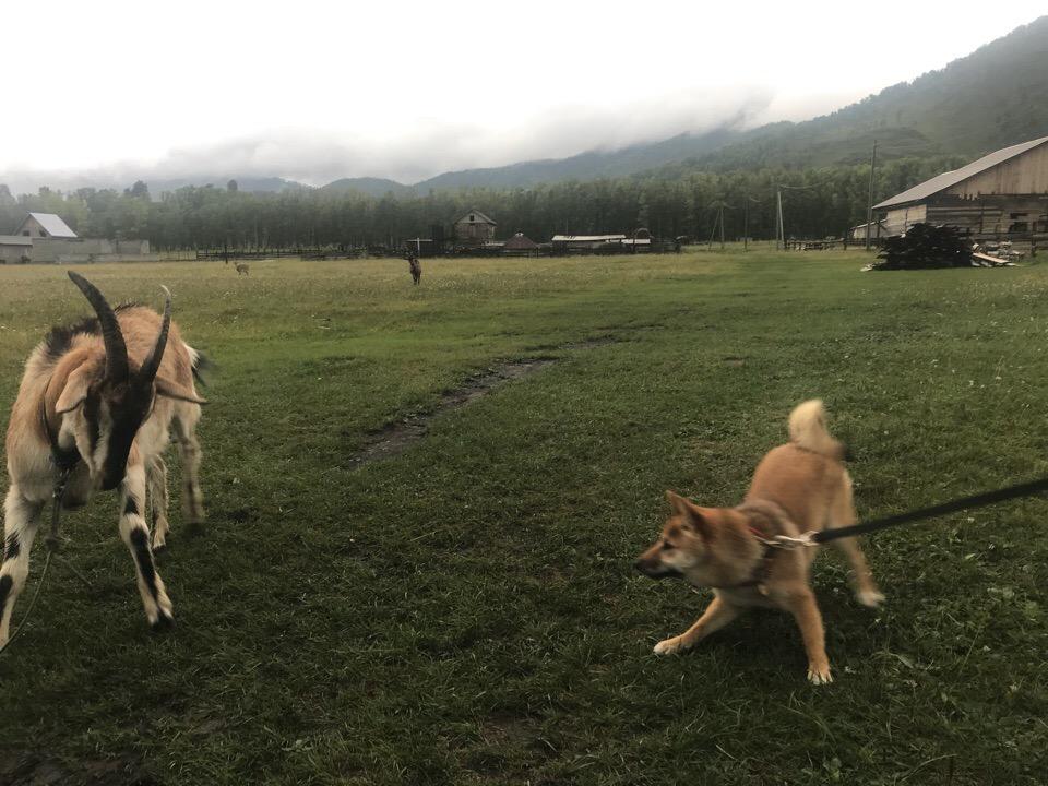 Поездка с собакой на Алтай