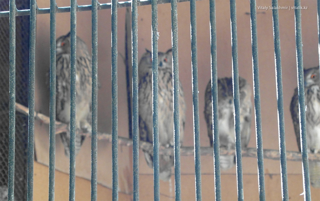 Длиннохвостая неясыть, зоопарк Алматы 2018