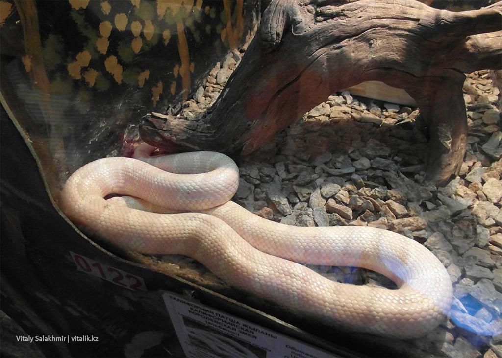 Калифорнийская королевская змея альбинос, зоопарк 2018