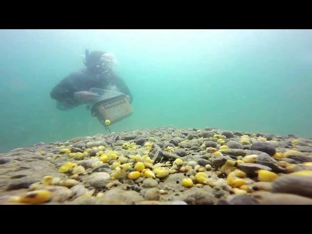 Рыбалка красивая съёмка карпов под водой ловля на фидер и метод карпфишинг