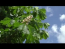 Stock-footage-big-bush-of-the-blossoming-chestnut-in-the-spring (1)
