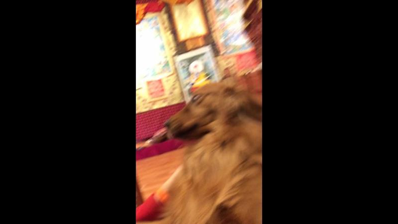 Тибет собаки