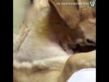 Собака после операции обнимает хозяина и не хочет его отпускать