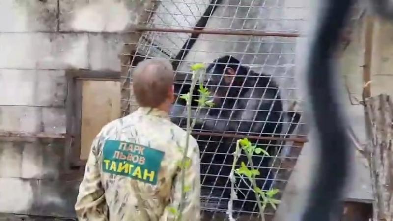 Выпуск шимпанзе в большой вольер