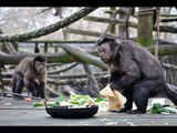 Cute Monkeys Part #75 - Free and Happy time Funny Capuchin Monkey Eating Ice Cream and Playing Pen