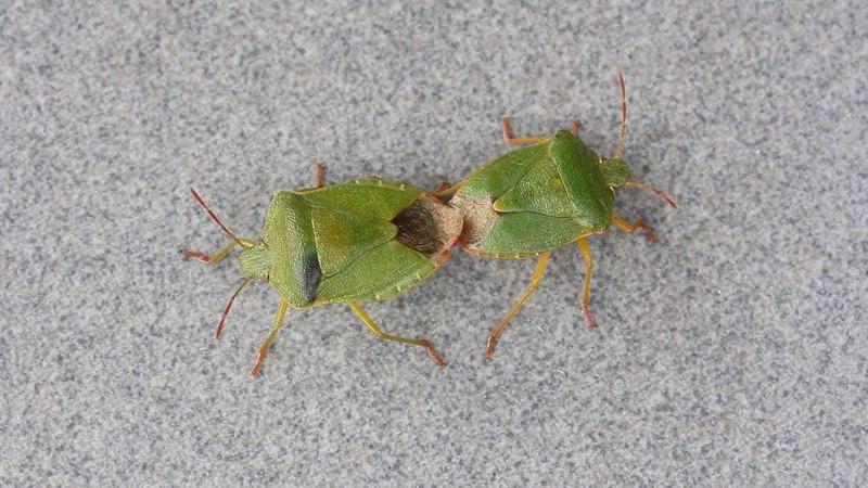 вонючки совокупляются. секс насекомых. жуки щитник зелёный древесный спариваются на сером фоне