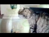 Кот Матей, всегда пьет только из аквариума