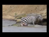 Crocodile vs Zebra Terror Attack