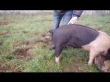 Важный вопрос. Как выпрямить хвост свинье