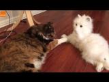 Реакция котов на игрушечную кошку (6 sec)