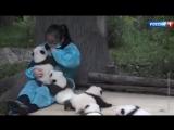 Московских зоологов научат правильно обнимать панд