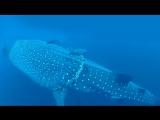Китовая акула застряла в канате оставленным людьми. Океан стал свалкой мусора